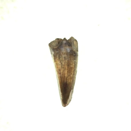 Fossil Permian Age Ophiacodon retroversa Reptile Tooth from the Ryan Formation of Oklahoma