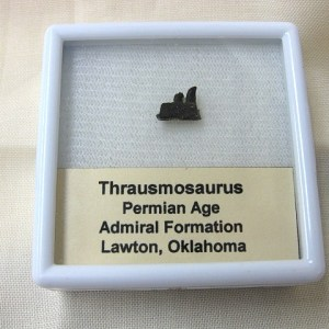 Fossil Permian Age Thrausmosaurus Synapsid Reptile Jaw with Teeth from Oklahoma