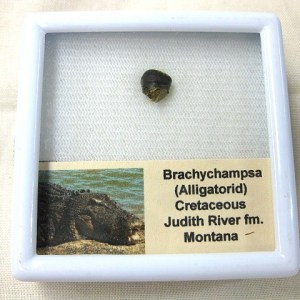 Fossil Cretaceous Age Brachychampsa Alligatorid Reptile Tooth from Montana