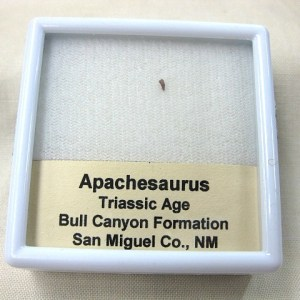 Fossil Triassic Age Apachesaurus Temnospondyl Amphibian Tooth from New Mexico