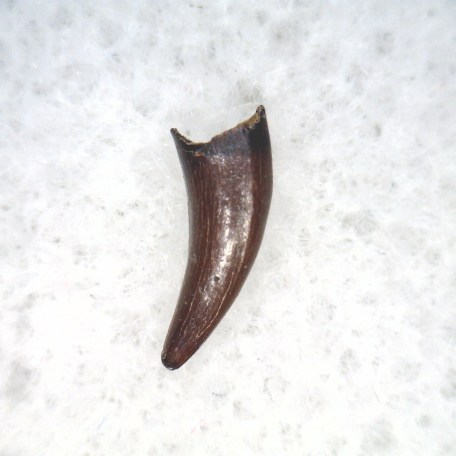Fossil Cretaceous Age Raptor Dinosaur Tooth from the Hell Creek Formation of Montana