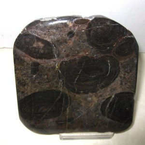 Fossil Cambrian Age Algal Oncolite Stromatolite from California