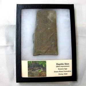 Fossil Eocene Age Reptile Skin Impressions from The Green River Formation of Utah