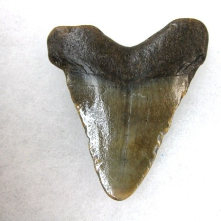 Fossil Miocene Age Megalodon Shark Tooth from South Carolina
