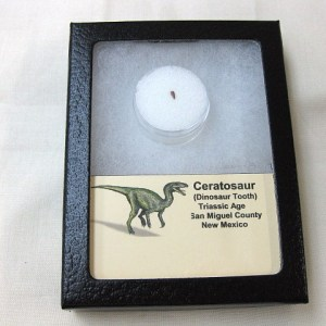 Fossil Triassic Age Ceratosaur Dinosaur Tooth from New Mexico