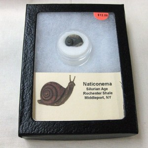 Fossil Silurian Age Naticonema Gastropod from New York