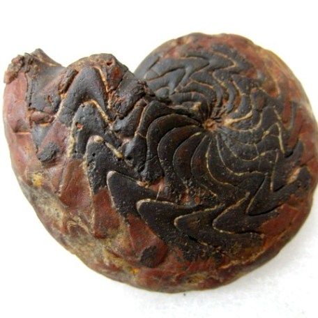 Fossil Devonian Age Hematite Replaced Goniatite from North Africa