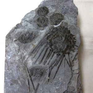 Fossil Mississippian Age Archaeoidaris Echinoid Plate from Missouri