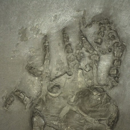 Fossil Devonian Age Codiacrinus Crinoid from Bundenbach Germany
