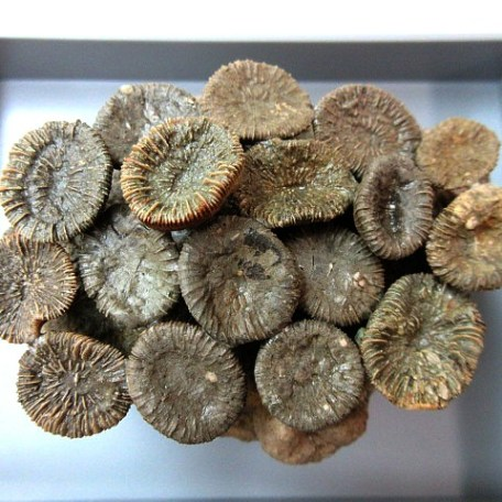 Spain Eocene Trochocyathus Coral Colony
