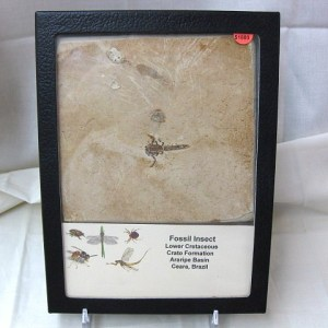 Fossil Cretaceous Insect from the Crato Formation of South America