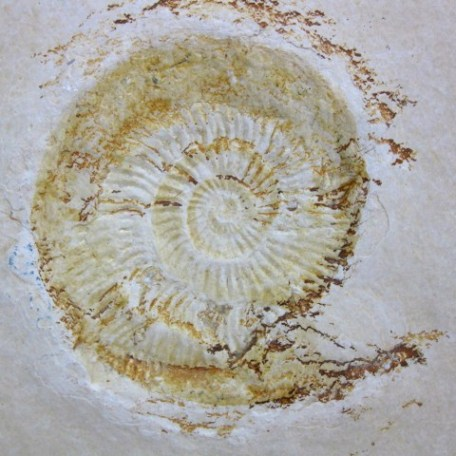 Fossil Jurassic Age Ammonite from the Solnhofen Limestone of Germany