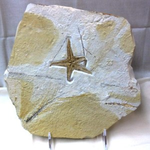 Fossil Jurassic Age Starfish from the Solnhofen Limestone of Germany