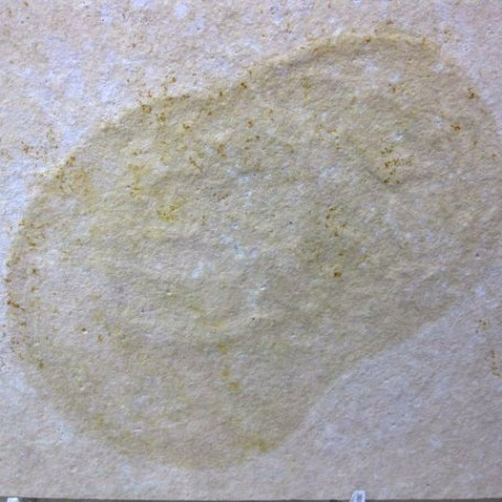Fossil Jurassic Age Jellyfish from the Solnhofen Limestone of Germany