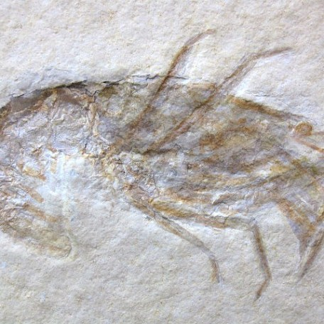 Fossil Jurassic Age Lobster from the Solnhofen Limestone of Germany