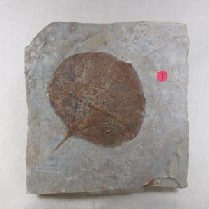 Fossil Paleocene Leaf from The Ft. Union Formation of Glendive Montana