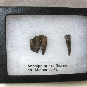 Fossil Miocene Age Anchippus 3-Toed Horse from Florida