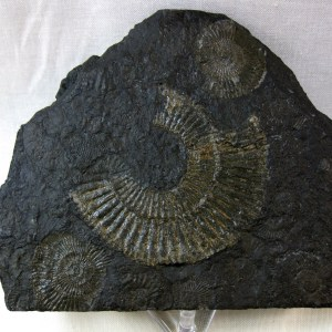 Fossil Jurassic Age Holzmaden Dactylioceras Ammonite Plate from Germany