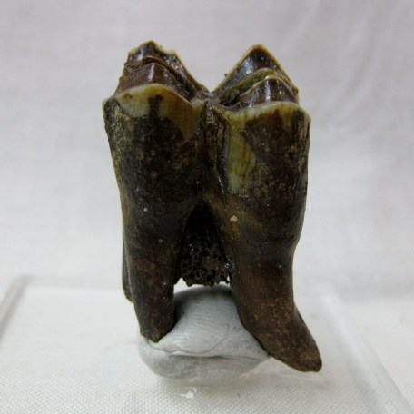 Fossil Pleistocene Age  Camel Tooth from Florida