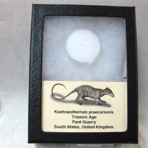 Fossil Triassic Age Kuehneotherium praecursoris Mammal Tooth from The United Kingdom