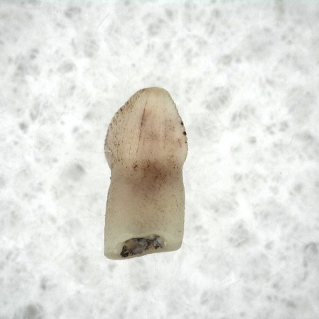 Fossil Triassic Age Pseudosuchian Tooth from New Mexico