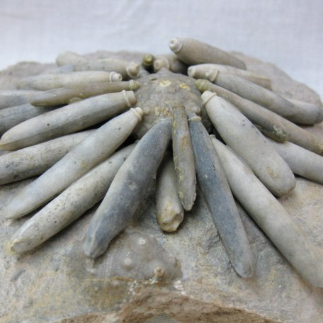 Fossil Cretaceous Age Asterocidaris bistriata Sea Urchin Plate from North Africa