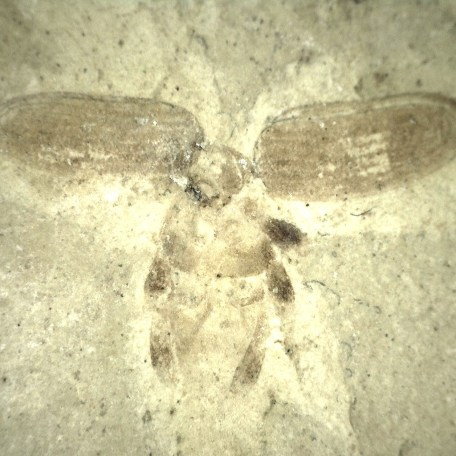 colorado eocene green river insect 52a