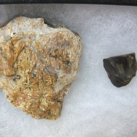 med. cretaceous triceratops frill & tooth set 42a
