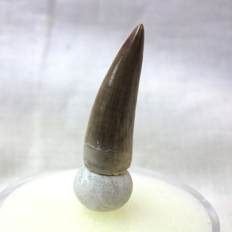 triassic new mexico phytosaur tooth 4a