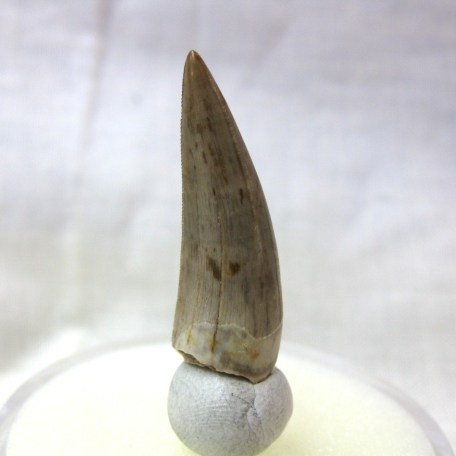 triassic new mexico phytosaur tooth 4c