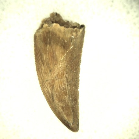 african cretaceous raptor tooth 36a