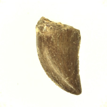 african cretaceous raptor tooth 39a