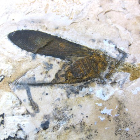 cretaceous crato insect 121a