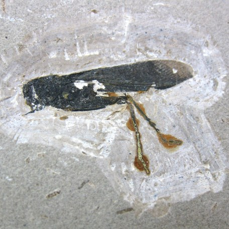 cretaceous crato insect 137a