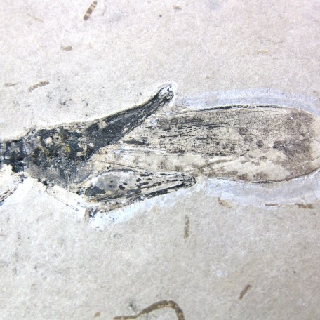 cretaceous crato insect 144a
