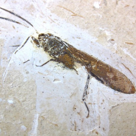 cretaceous crato insect 159a