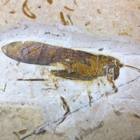 cretaceous crato insect 167a
