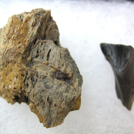 south dakota sm. triceratops frill & tooth set 42a