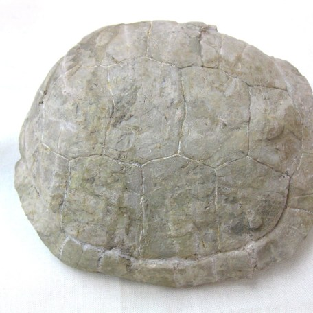 Fossil Oligocene Age Turtle from Wyoming