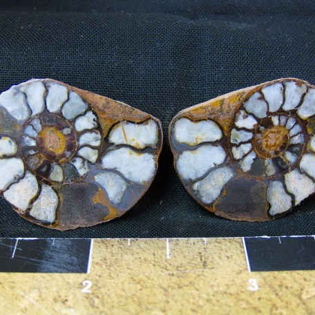 Fossil Jurassic Age Hematite Replaced Ammonites from Morocco North Africa