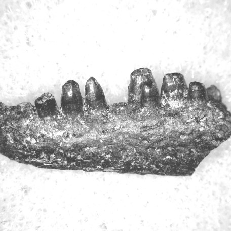 Fossil Permian Age Captorhinus Reptile Jaw from Oklahoma