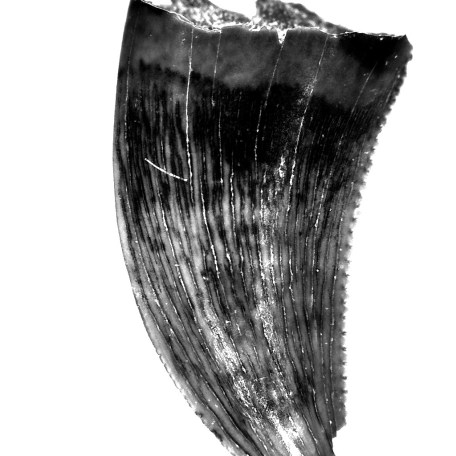 Fossil Cretaceous Age Sauronitholestes Dinosaur Tooth from The Hell Creek Formation of Montana