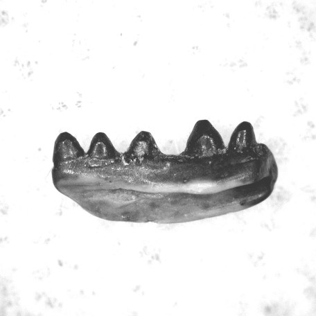 Fossil Permian Age Cardiocephalus Amphibian Jaw from Oklahoma