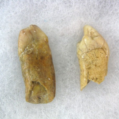 Fossil Pleistocene Age Ursus speleous Cave Bear from the Carpathian Mountains of Romania
