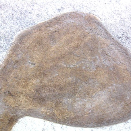 Fossil Eocene Fish with Banana Leaf from Wyoming