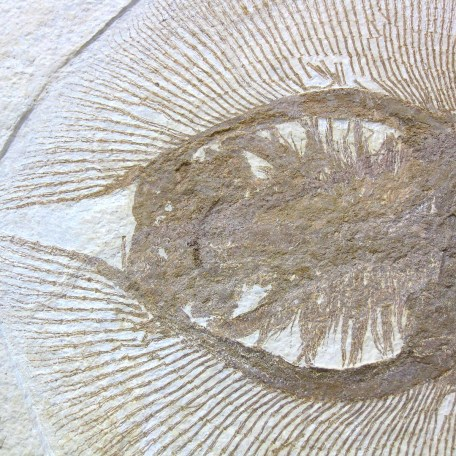 Fossil Eocene Myliobatis radians Stingray and Knightea Fish Plate from Wyoming
