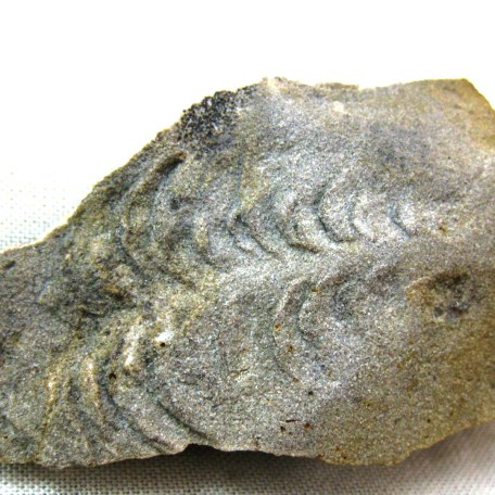 Fossil Mississippian Age Trilobite Trackway (Cruziana) from Indiana