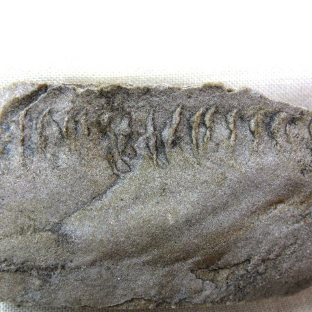 indiana mississippian trilobite track 15a