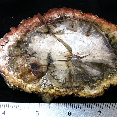 Fossil Triassic Age Petrified Wood from Madagascar
