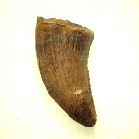 cretaceous judith river theropod tooth 5a